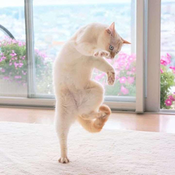 50+ фото смешных танцующих котов. Коты, которые танцуют. Картинки!